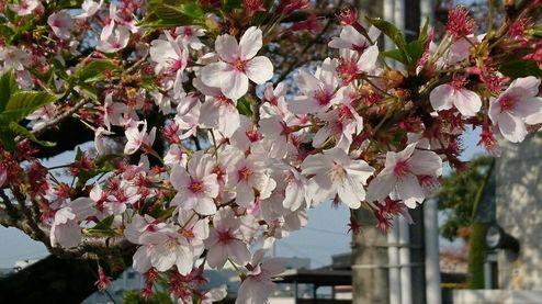 4月の桜(隣ですが) No.1