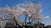 平成最後の桜!