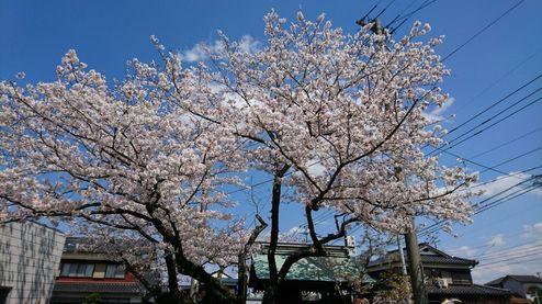 平成最後の桜! No.1